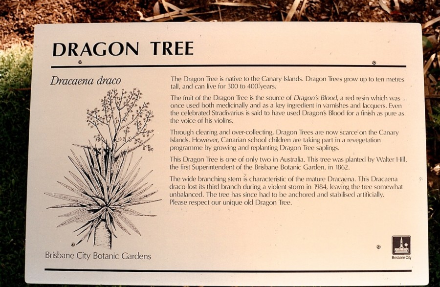 BCC City Gardens Dragon Tree
